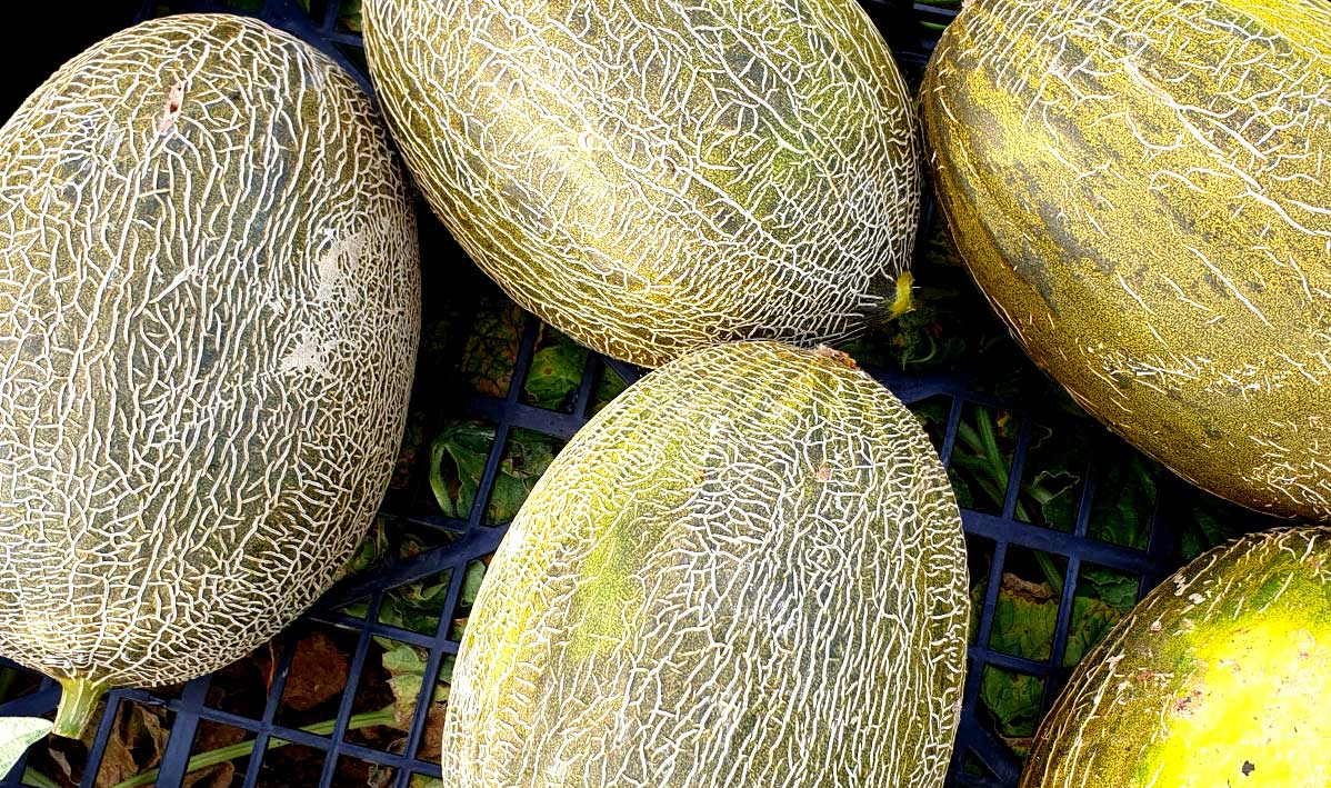 Melone Invernale Sardo